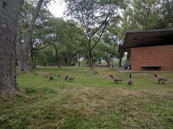 Canada gooses on Toronto Island
