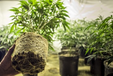 Marijuana Greenhouses: Restrictions Are Removed To Treat Cannabis As Normal Crop